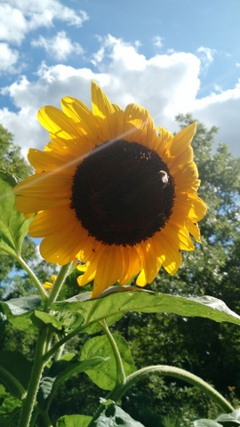 Photo of a sunflower.